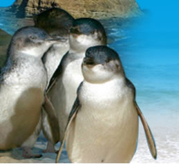 Phillip Island Penguin Parade - Accommodation in Bendigo