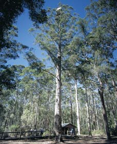 Diamond Tree Lookout Manjimup - Accommodation in Bendigo