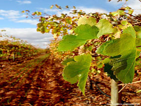 Mirabella Vineyards - Accommodation in Bendigo