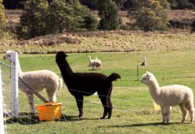 Maydena Country Cabins Accommodation  Alpaca Stud - Accommodation in Bendigo