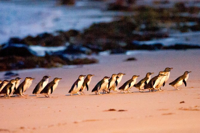 Phillip Island Penguin Parade Entry and Express Shuttle from Melbourne