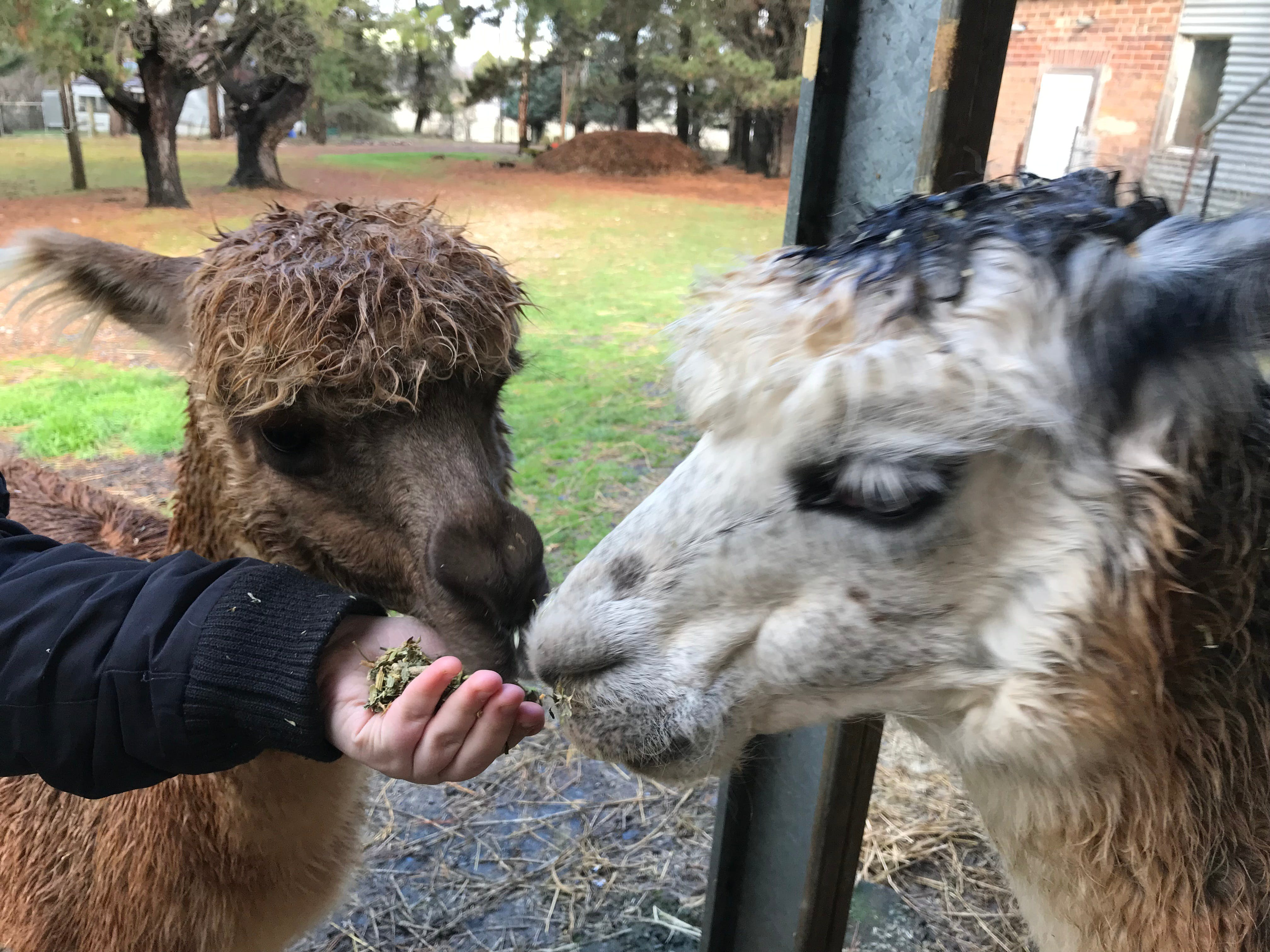 Alpaca Farm Experience at Crookwell - Accommodation in Bendigo