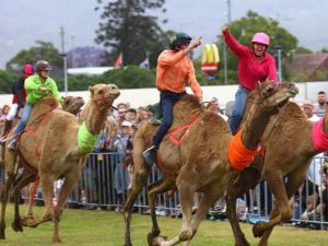 Camel Races at Penrith Paceway - Accommodation in Bendigo