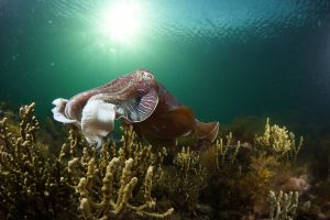 Cuttlefish Diving  Snorkeling EVERYDAY May -August - Accommodation in Bendigo